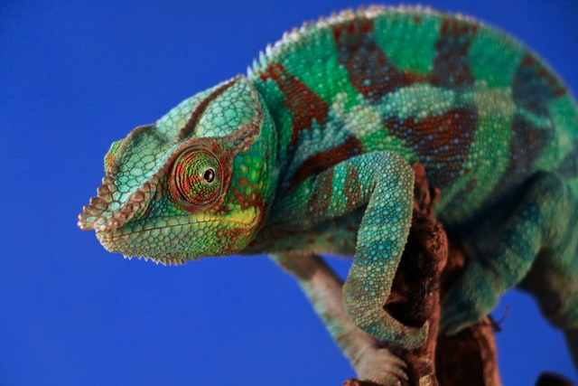 The side profile of a predominantly green and brown chameleon.
